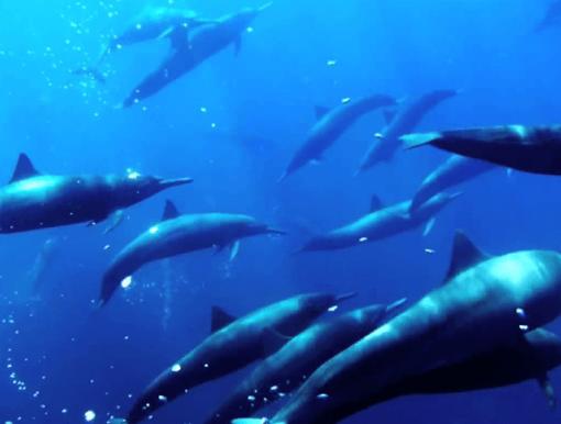 Delfinët, të maskuar në tufë